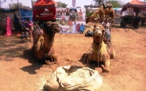 Pushkar, cammelli in attesa di turisti per il trekking.
