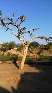 Madhia Pradesh, Chitrakoot, 12 febbraio 2016. L'albero secco di seesam, protetto.