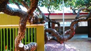 Orissa, Puri. L'albero dal tronco cavo sotto il quale meditava Mahaprabhu, un seguace di Hari Krishna.