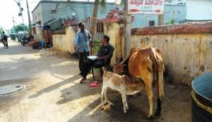 Puri, 2 febbraio 2016. Il vitellino nato da pochi giorni all'entrata del Sagar Salkare Hotel.