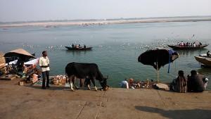 Varanasi, 15 dicembre 2016. Mucca che mangia i fiori delle offerte al Gange.
