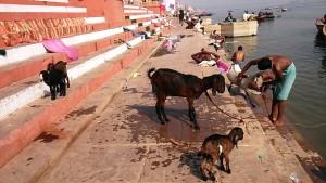 Varanasi, 18 dicembre 2016. Il bagno sul Gange delle capre e dei caprettini.