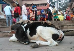 Varanasi, Rajenda Ghat, 17 dicembre 2016. toro con mantello.