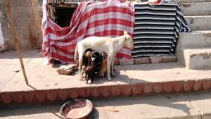 Varanasi, 5 marzo 2017. La cuccia accanto al Kedar Ghat.