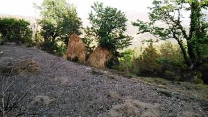Kasar Devi, 9 aprile 2017. Covoni di fieno appoggiati agli alberi.